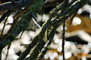 Pecos Spanish Moss